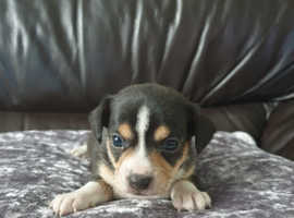 Beautiful jack russell x chihuahua for sale