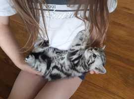 GCCF REGISTERED silver tabby bsh kittens