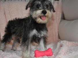 Exceptional Litter Kc Reg Miniature Schnauzer Puppies
