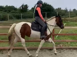 Riding and driving horse coloured mare