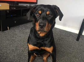 12 month old Rottweiler for sale