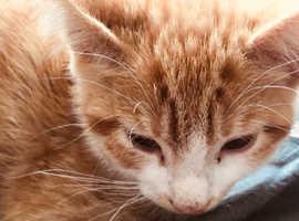 Lovely ginger kitten