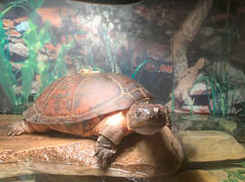 African Side neck turtle and set up