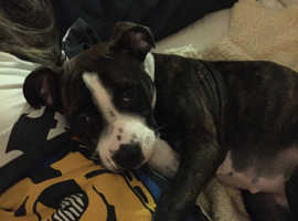 A gorgoeus very cute staffie/boxer 6monthsbild and fully house trained.