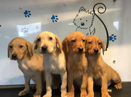 Fox red and yellow Labrador puppies