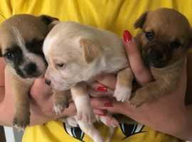 Three beautiful chihuahua puppies