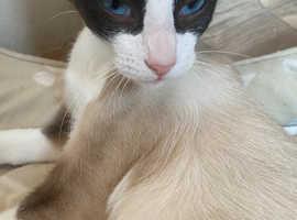 Snowshoe cat (girl)