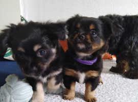Chihuahua X Shih Tzu puppies for sale