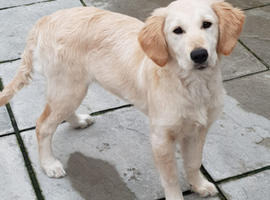 Golden retriever female pup SAD SALE