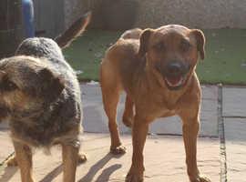 3/4 border terriers 1/4 paterdale