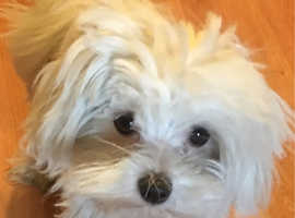 KC REGISTERED TINY MALTESE STUD NOT FOR SALE