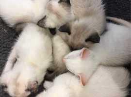 !!Pedigree-Gccf Registered Seal Siamese Kitten