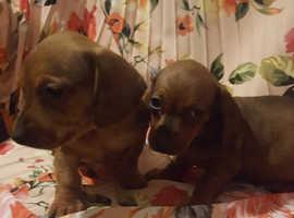 miniature dachshund puppies 2 red boy