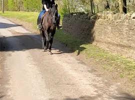 15hh sports horse
