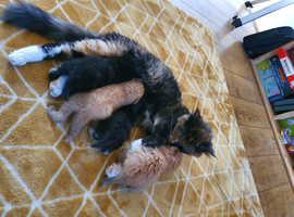 Second litter of beautiful, healthy, playful kittens