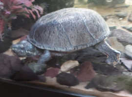 3 musk turtles need rehoming