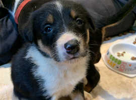 1 tri colour female pup for sale