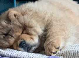 6 Lovely Chow Chow Puppies Ready