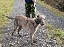 Deerhound Greyhound Collie Greyhound