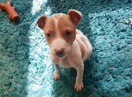 Gorgeous staff x bullmastiff puppies too good loving homes.