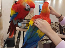 Super tame hand reared scarlet macaw babies