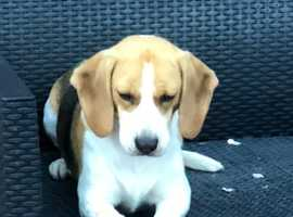 Beagle bitch Kc registered 2 years old