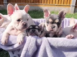 Kc registered French bulldogs puppies for sale