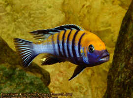 Afican mbuna cichlid for sale/swop