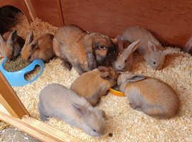 Pure bred Mini lop rabbits