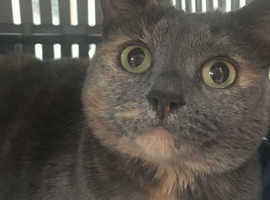 Pedigree bsh grey cat