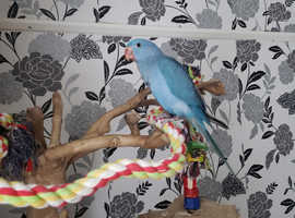 Hand reared  Indian ringneck parrot  11 weeks