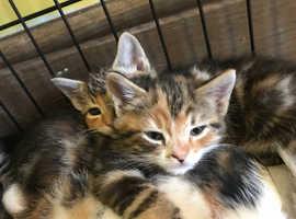Last kitten for sale