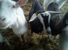 Dairy Milking Goats