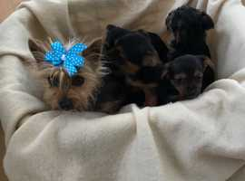Cheeky Yorkshire terrier x chihuahua puppies