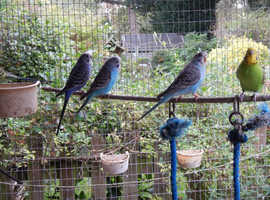 Lovely budgies looking for new home