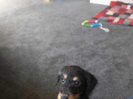 Jackapoo pups