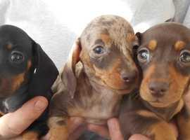 Pedigree Mini Dachshund S/H Puppies