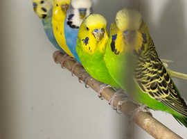 Beautiful young Budgies