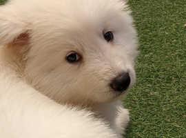 Gorgeous white shepherd puppies