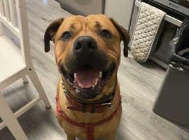 Tucker, mastiff cross Rottweiler