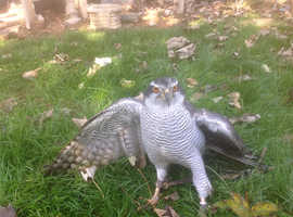 Wanted private land to fly birds of prey on