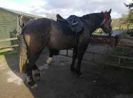 Good solid 16hh full irish draught mare