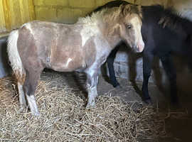 Tri coloured moorland hill colt