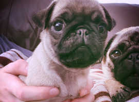 Female KC Reg Fawn Pug Puppy Ready Now - Health Tested Parents