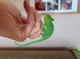 Female Chameleon babies