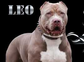Absolutely STUNNING Bully Female Pups