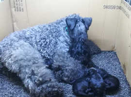 Kerry Blue Terrier puppies