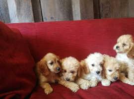 Cavachon x Miniature Poodle Sisters
