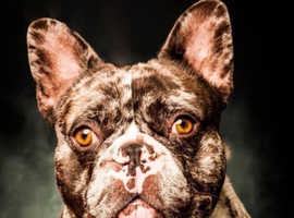 French bulldog Frenchie