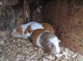 3 NICE COLOURED GUINEA PIGS